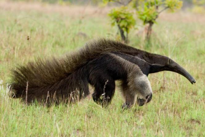 Giant_Anteater