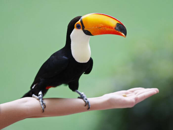 A Toco Toucan is perched on the arm of a visitor at the Jurong Bird Park in Singapore